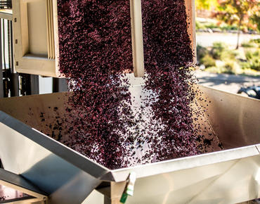 wine grapes pouring into metal bin