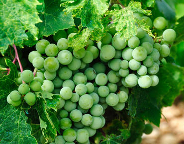 white wine grapes growing on the vine